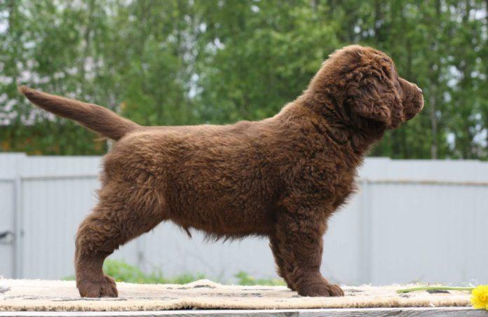 Labrador Fluffy: il gene recessivo del pelo lungo