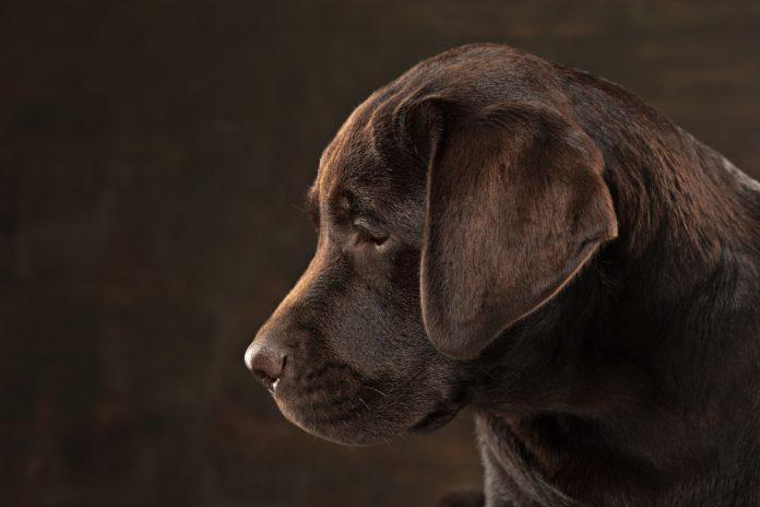Cuccioli da adottare? Regalati un labrador retriever