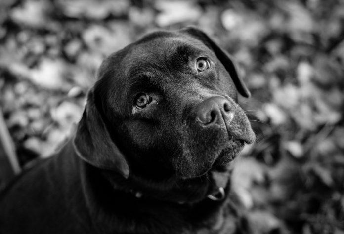 Cuccioli di razza? Se hai figli scegli un Labrador