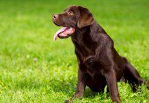 cquistare un Labrador: il prezzo di un cucciolo con le carte in regola