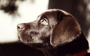 Labrador caratteristiche e carattere di questo splendido cane!